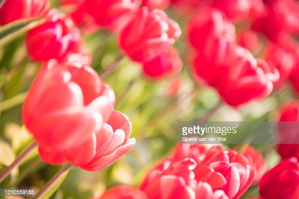 """blossoming red and pink tulips in a field during a beautiful spring day - """"sjoerd van der wal"""" stock pictures, royalty-free photos & images"""