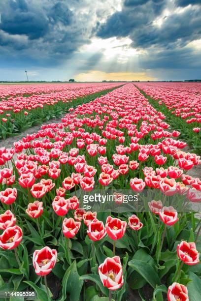 bloeiende rode en roze tulpen in een veld tijdens een stormachtige lente namiddag - flevoland stockfoto's en -beelden