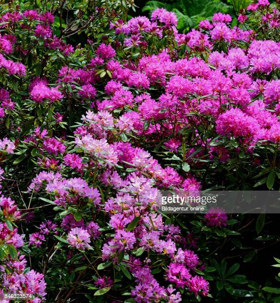 Blossoming Rhododendron Rhododendrons Family of The Heather Plants Ericaceae