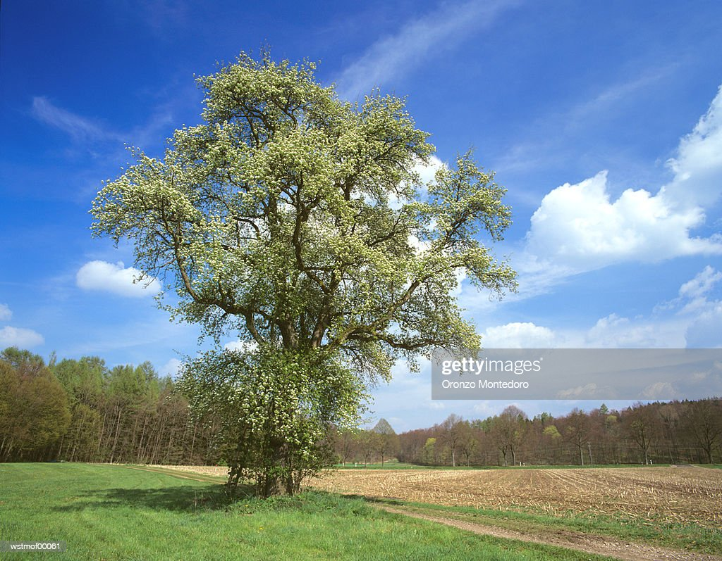 Blossoming Tree, Bavaria, Germany : Foto stock
