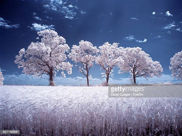 Blossoming Trees And Field With Crop
