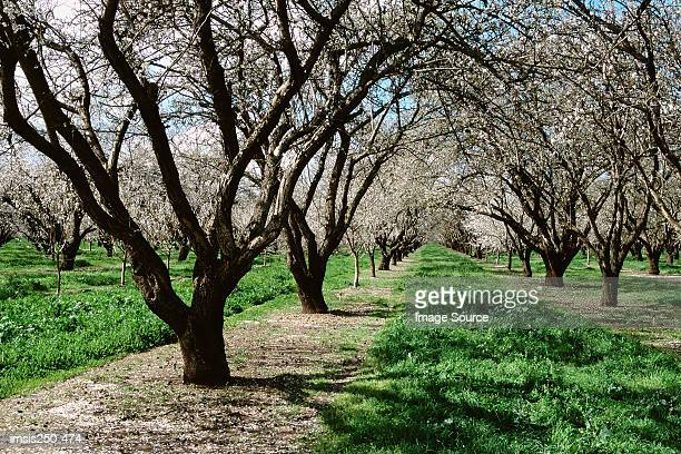 blossoming trees in orchard - almond orchard stock photos and pictures