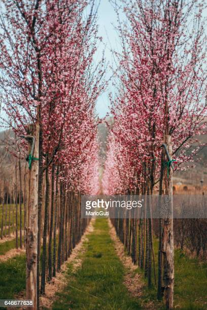blossoming trees - almond orchard stock photos and pictures