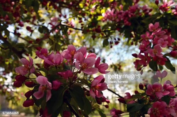 blossoming trees - jade nimmo - fotografias e filmes do acervo