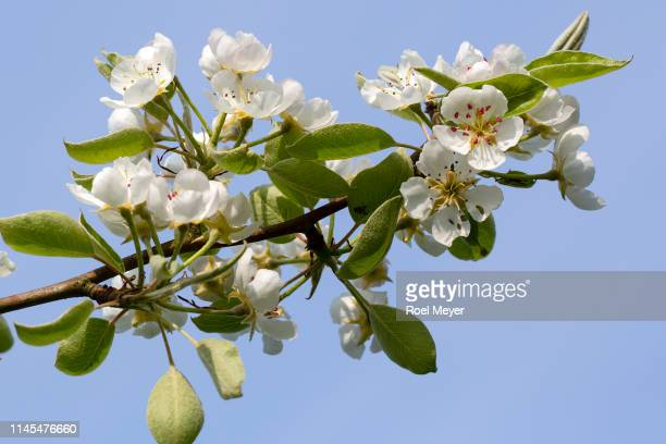 Blossoming twigs of pear tree on blue sky