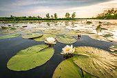 Blossoming white water lilly in a sunset over a nature reserve