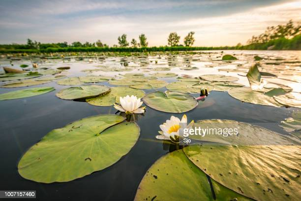 blossoming white water lilly in a sunset over a nature reserve - ninfea foto e immagini stock