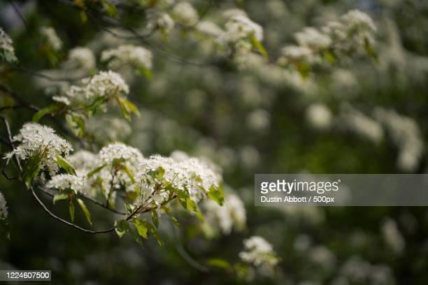 blossoming white wild cherry tree, petawawa, canada - dustin abbott imagens e fotografias de stock
