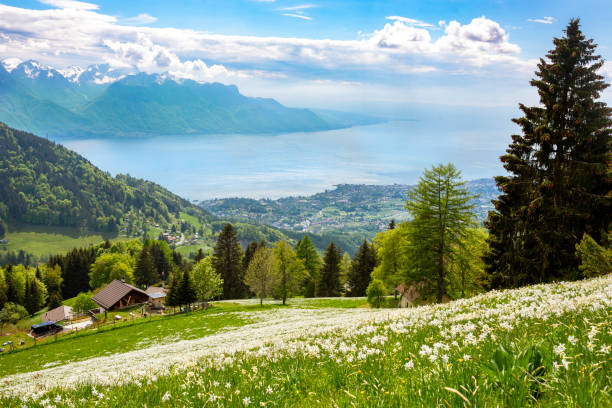 """Blossoming wild daffodils (narcissi) in may on the hillsides above Montreux, just above the villages of """"Les Avants.  Farmer's chalet in center of picture, with bigger building on left for cows during winter months. Lake Geneva in backdrop."""