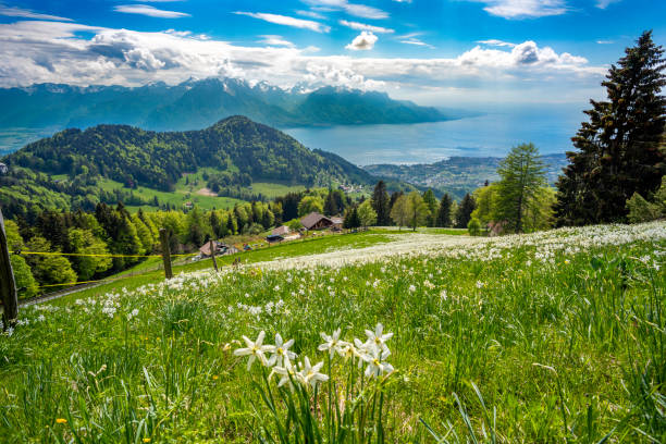 """Blossoming wild daffodils (narcissi) in may on the hillsides above Montreux, just above the villages of """"Les Avants."""
