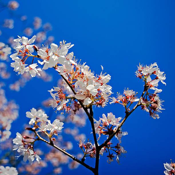 Blossoms against blue sky
