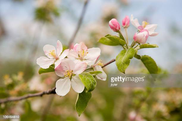 blossoms and buds. - bloesem stockfoto's en -beelden