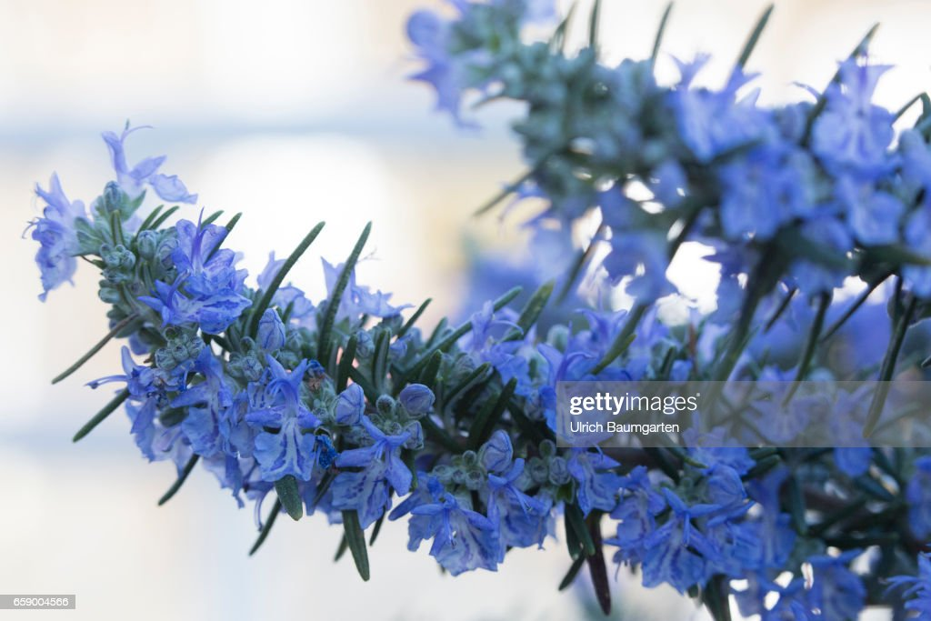 Blossoms and flower buds on a rosemary plant. : News Photo