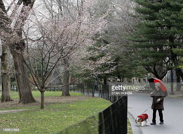 Blossoms appear on a cherry tree in New York's Central Park an unusually mild day 05 January 2007 in New York City Cherry blossoms usually bloom at...