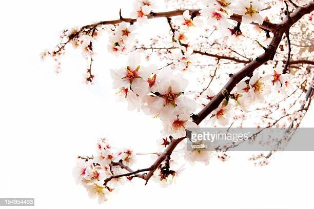 Cerezos en flor Aislado en blanco