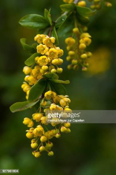 Blossoms of a common barberry (Berberis vulgaris), Bavaria, Germany