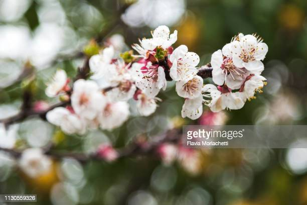 blossoms of almond tree - almond stock pictures, royalty-free photos & images