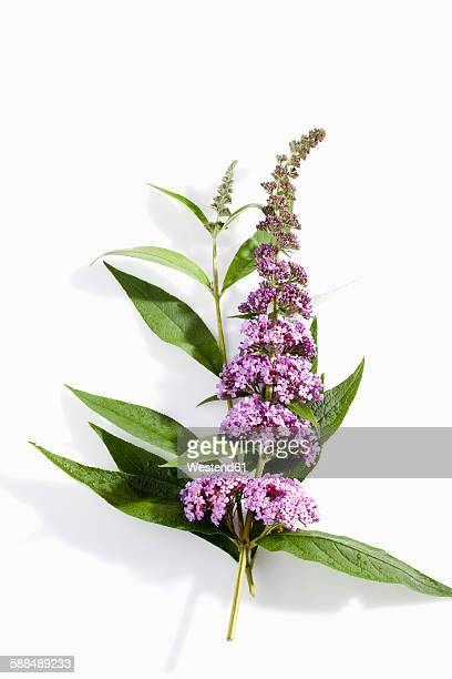 Blossoms of butterfly bush on white ground