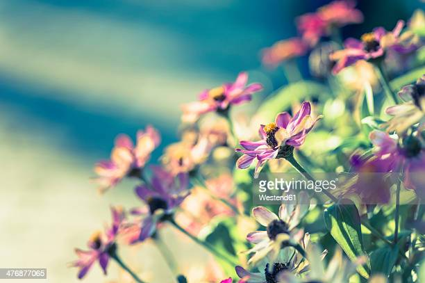 Blossoms of dahlias (Asteraceae)