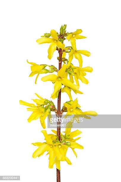 Blossoms of forsythia in front of white background
