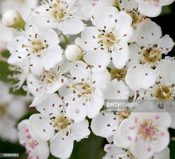 Blossoms of Hawthorn (Crataegus monogyna) or May Blossom