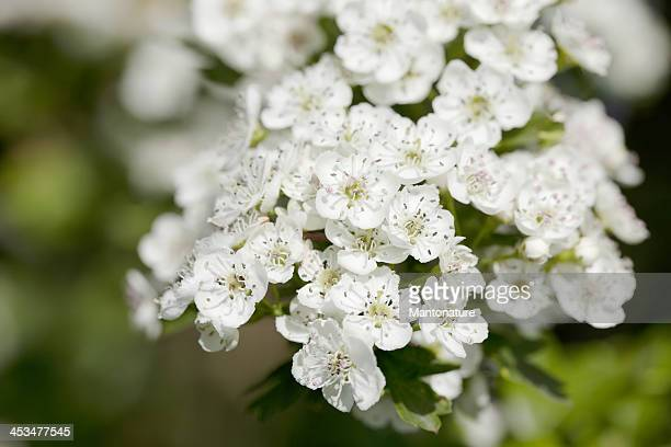 blossoms of hawthorn (crataegus monogyna) or may blossom - hawthorn,_victoria stock pictures, royalty-free photos & images