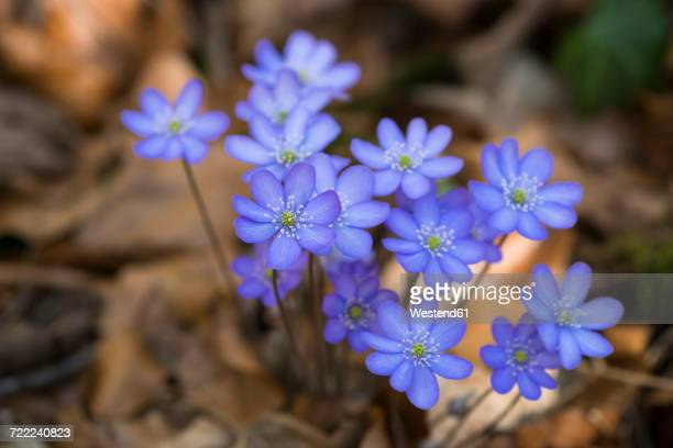 Blossoms of liverworts