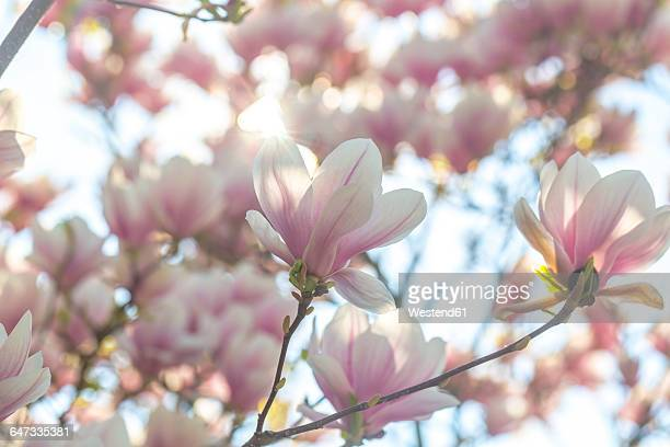 blossoms of magnolia tree - tulip tree stock photos and pictures