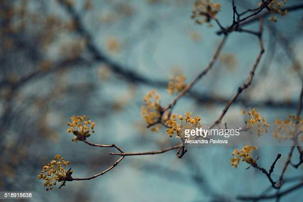 Blossoms of maple tree in spring