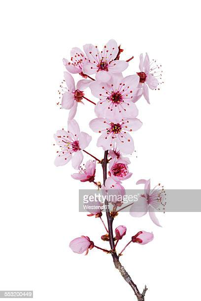 blossoms of purple-leaf plum in front of white background - bloesem stockfoto's en -beelden