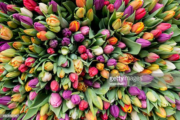Blossoms of tulips