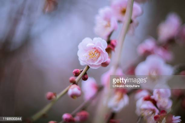 ume blossoms - february stock pictures, royalty-free photos & images