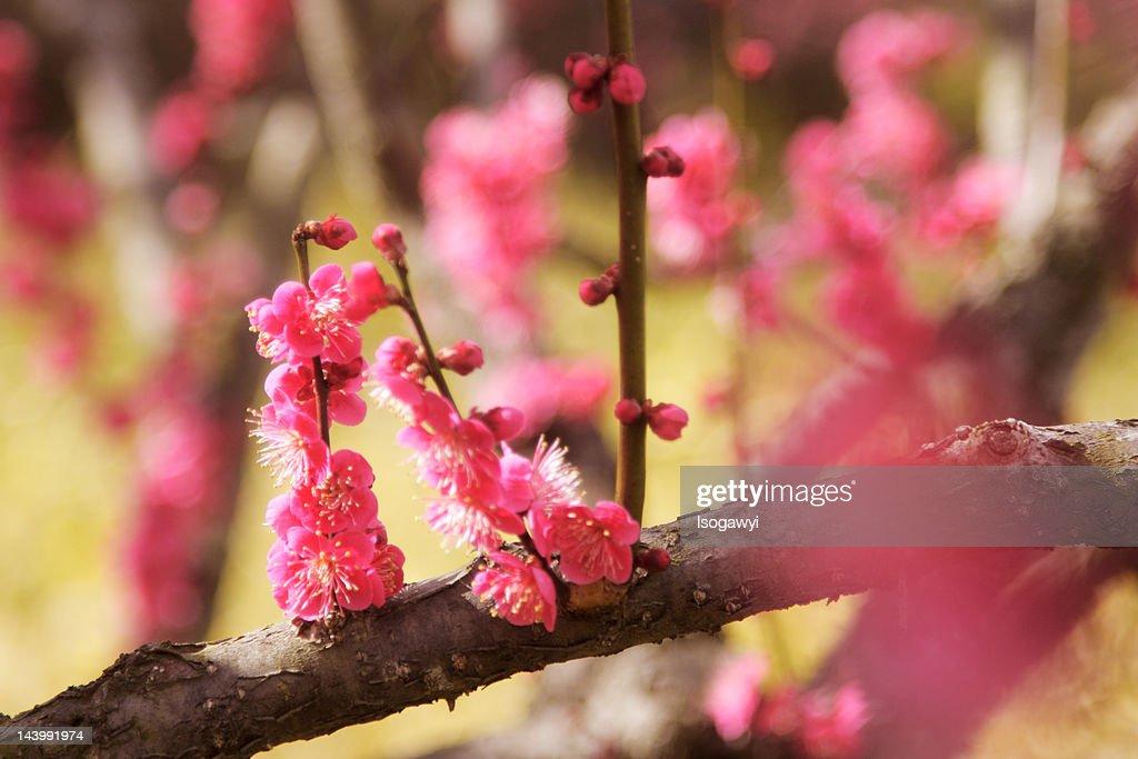 Blossoms : ストックフォト