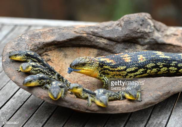 A Blotched BlueTongue lizard sticks out her tongue near her seven offspring as they are displayed for the first time at the Wild Life Sydney Zoo on...