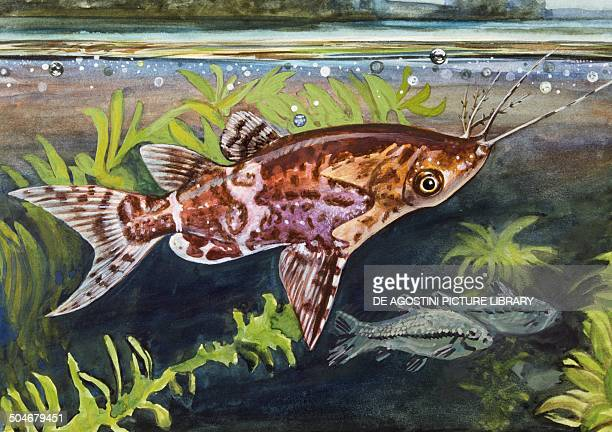catfish drawings stock photos and pictures getty images