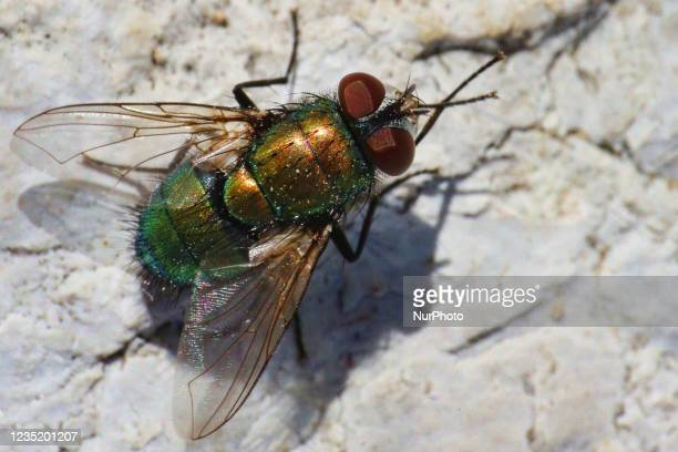 Blow fly in Toronto, Ontario, Canada, on September 11, 2021.