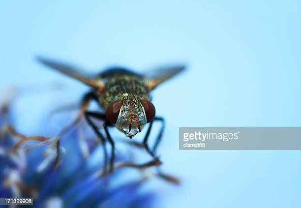 Blow fly Lucilia auf einer Distel Blume