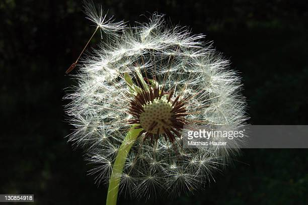 Blowball with black background (dandelion, Taraxacum officinale)