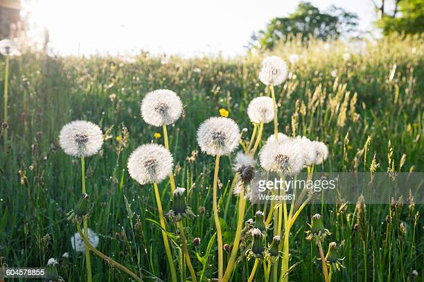 Blowballs on a meadow