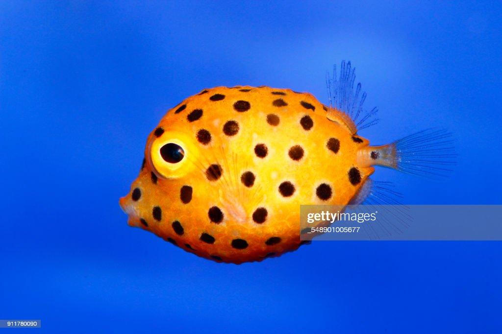 Blowfish : Stock Photo