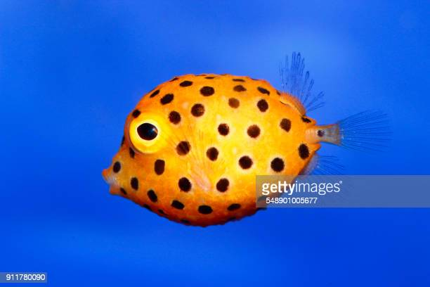 blowfish - fish stock pictures, royalty-free photos & images