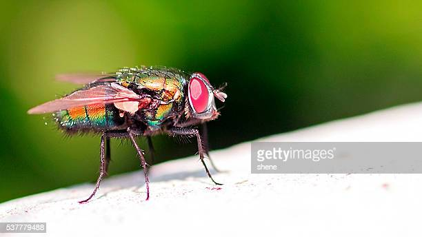 blowfly(greenbottle) - radiation sickness stock photos and pictures