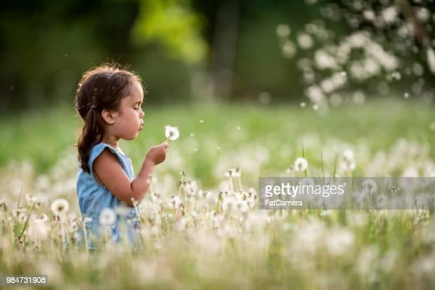 blowing a dandelion - soffiare foto e immagini stock