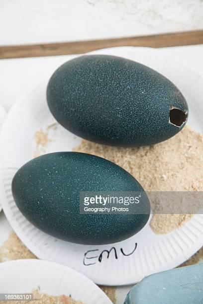 Blown emu eggs on display Suffolk Smallholders annual show Stonham Barns Suffolk England