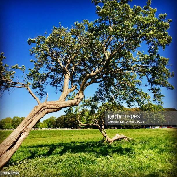 Blown over tree in dublin's phoenix park