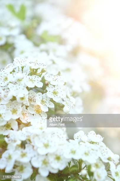 Blüte der Aroniabeere