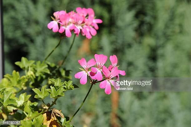 Blüte eine Geranie Pelargonium cordifolium