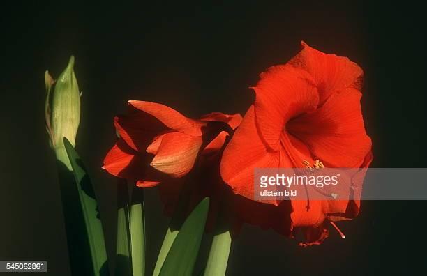 Blüte einer Amaryllis