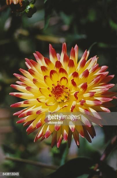 Blüte einer Dahlie Familie der Korbblütler Aufgenommen September 2000