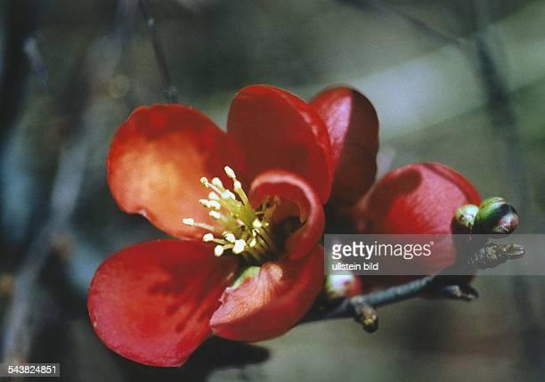 Blüte einer japanischen Zierquitte Familie der Rosengewächse Aufgenommen um 1998